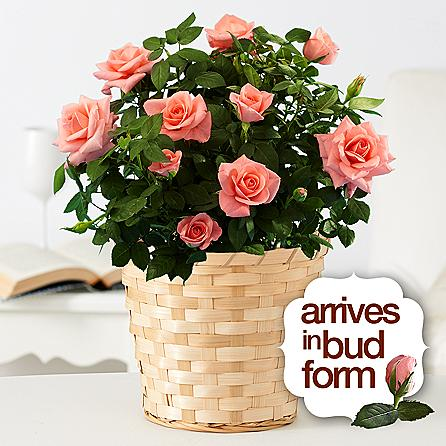 Potted Pink Rose Birthday Flowers to USA from Pakistan